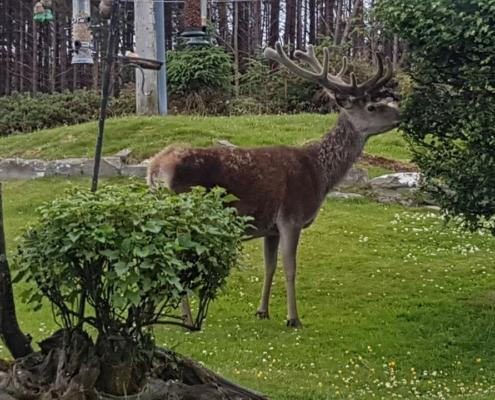 Deer visitng back garden